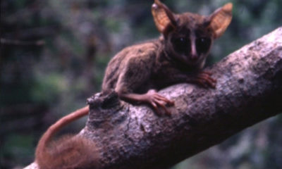 Pygmy Bush Baby - Conjour Species Report - 4