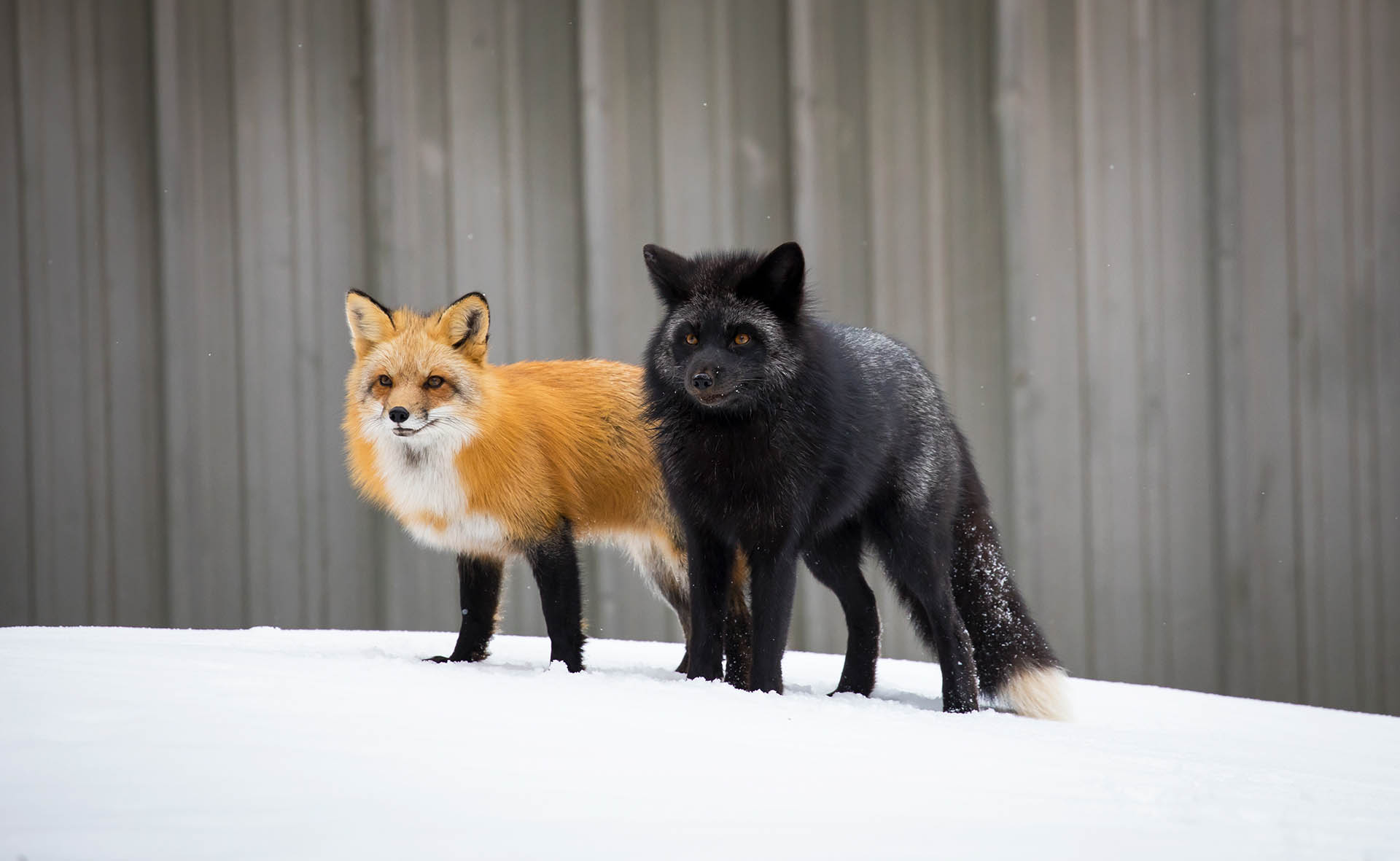 Red and Silver foxes vulpes vulpes Brittany Crossman Vulpes Vulpes The Red Fox Conjour Wildlife Photography Feature 2