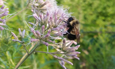 Rusty Patched Bumble Bee Conjour Conservation