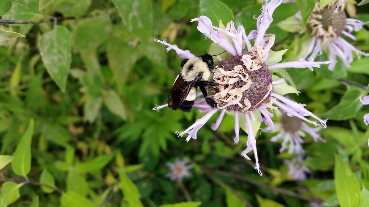Rusty Patched Bumble Bee Conjour Conservation Article