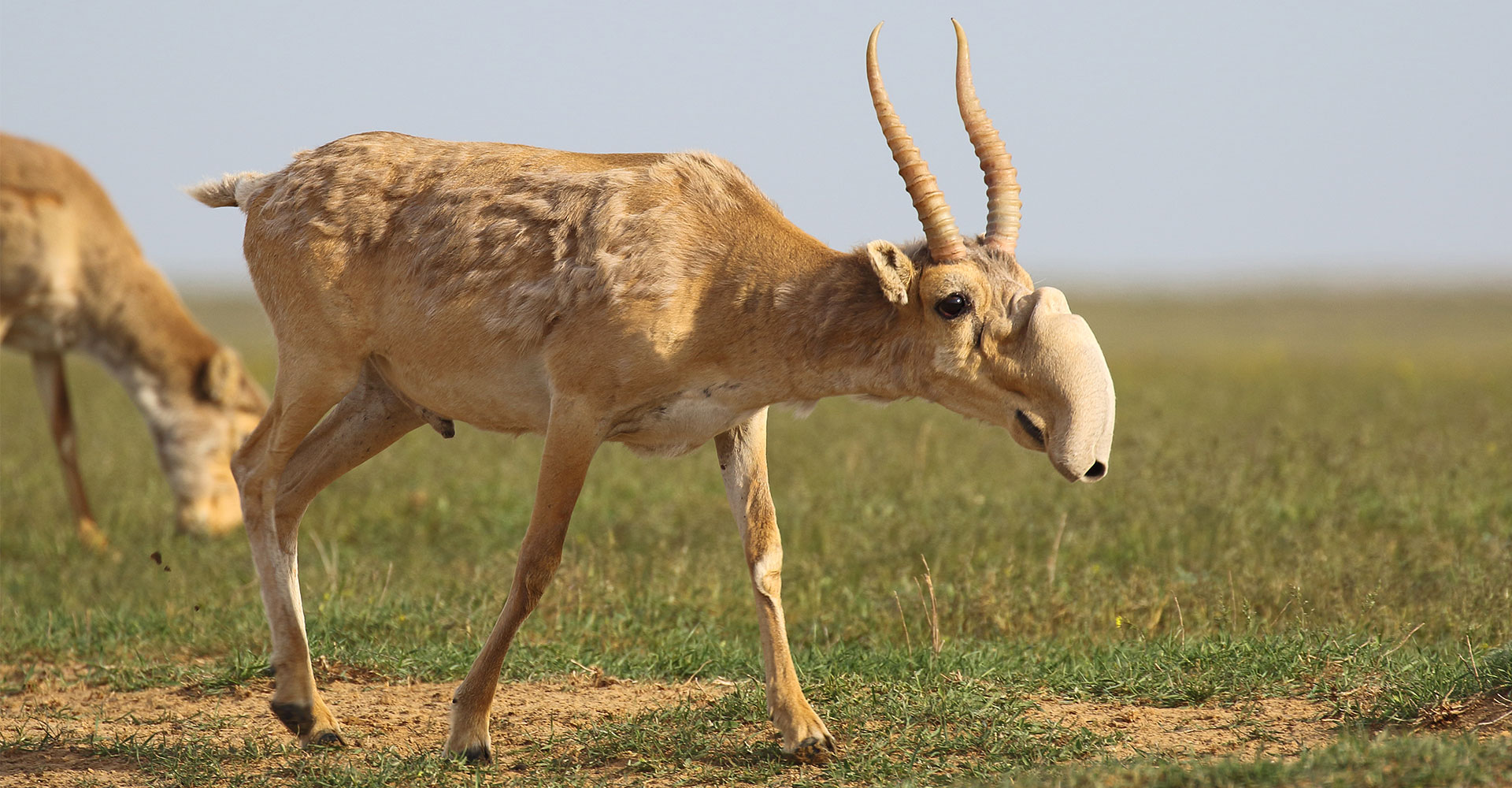 Saiga Antelope - Conjour Conservation Species Report - Feature