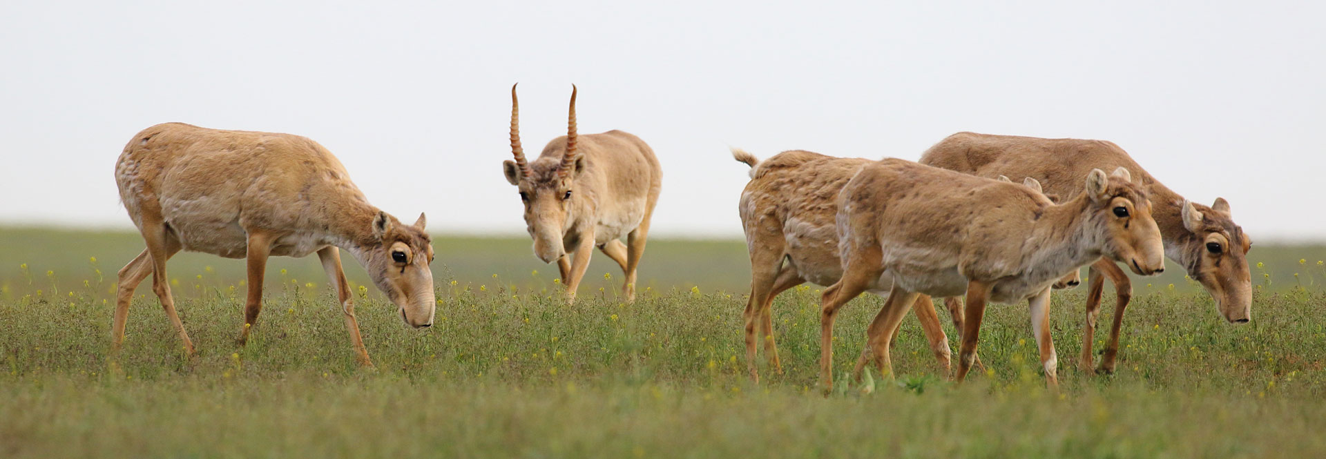Saiga Antelope - Conjour Conservation Species Report - Group of Saiga - 5