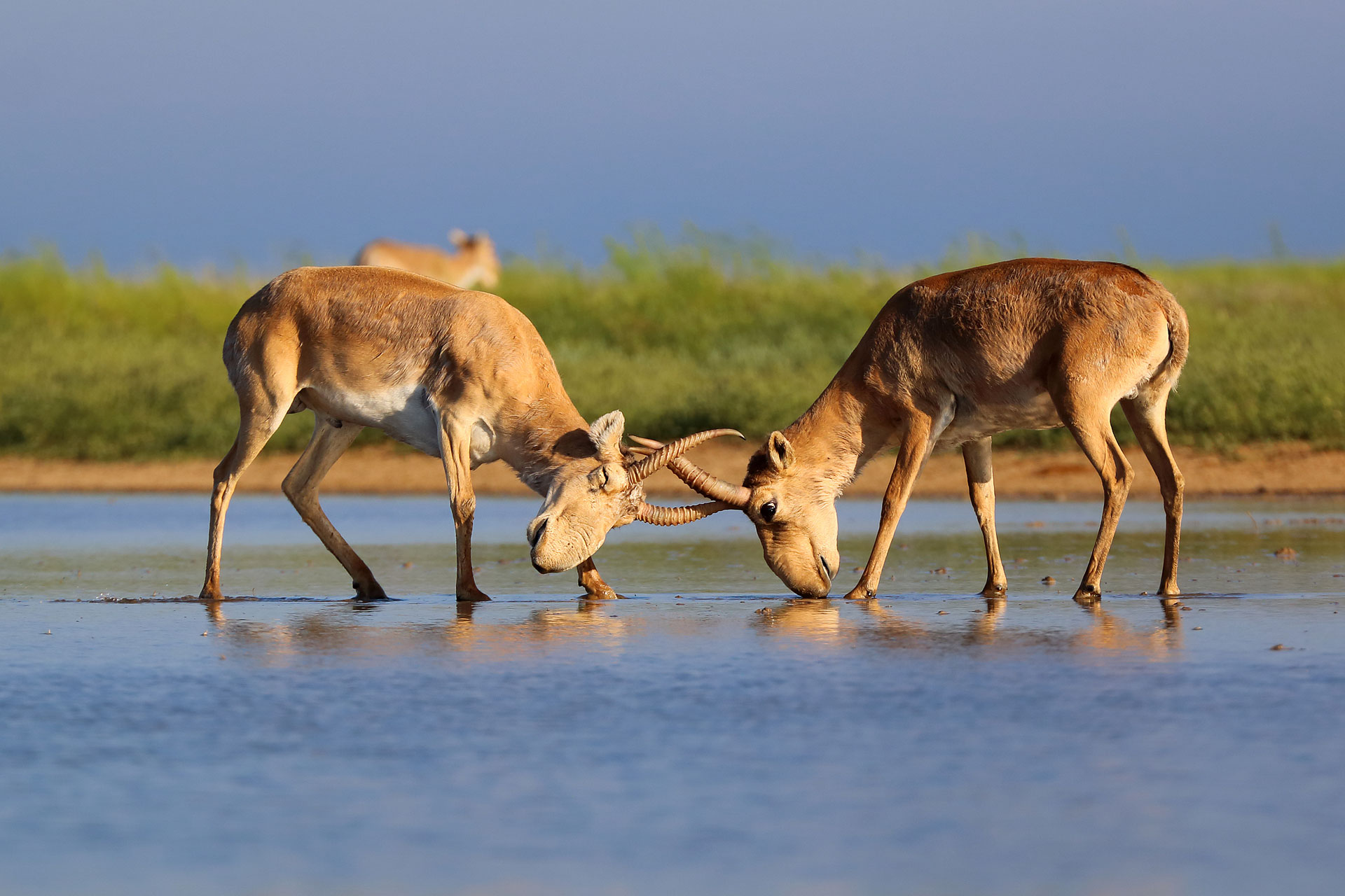 Saiga Antelope - Conjour Conservation Species Report - Two Bulls Fighting - 1