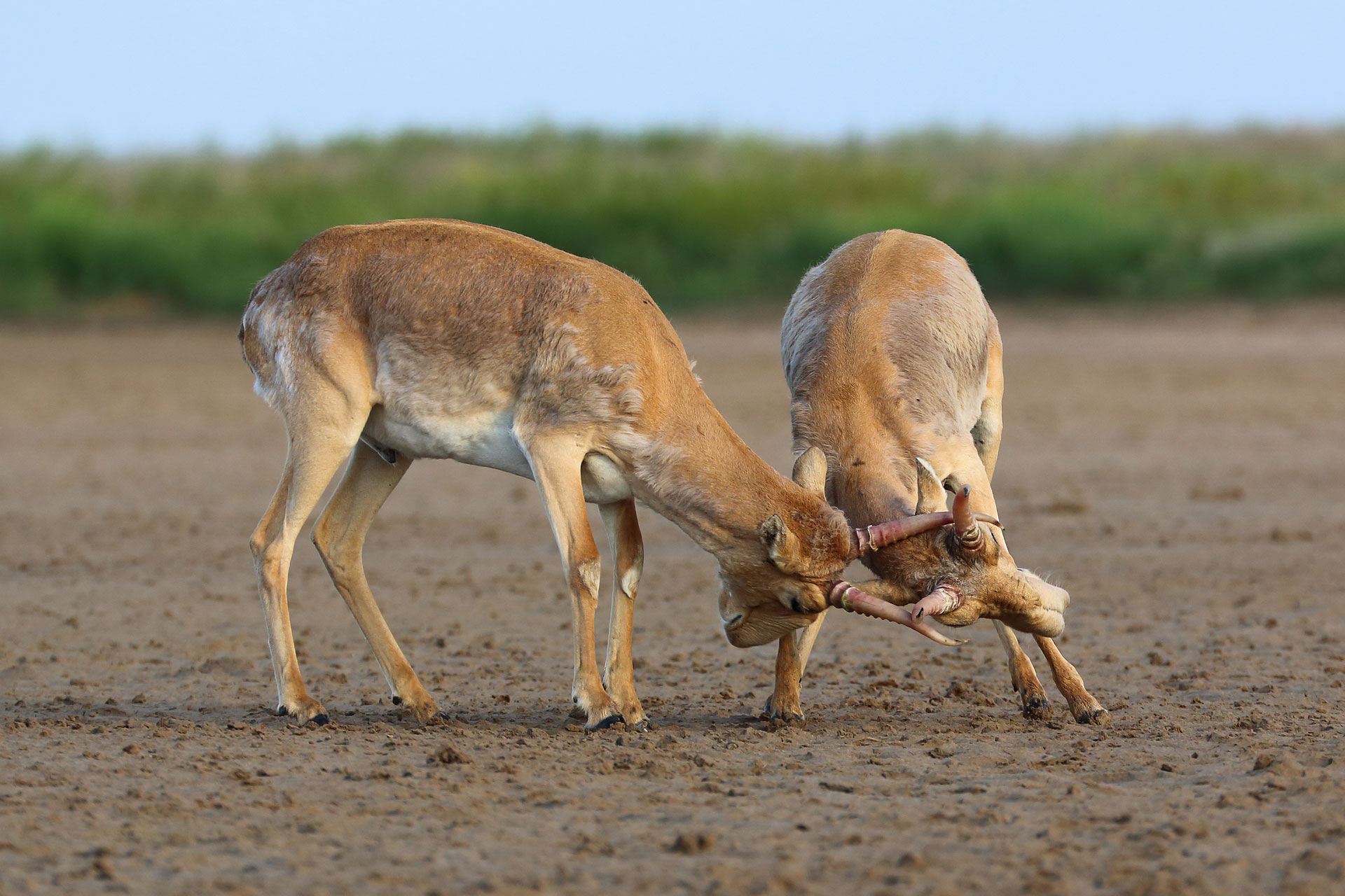 Saiga Antelope - Conjour Conservation Species Report - Two Bulls Fighting - 4