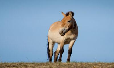 Saving Przewalski's Horse - Conjour Wildlife Photography Feature - 0