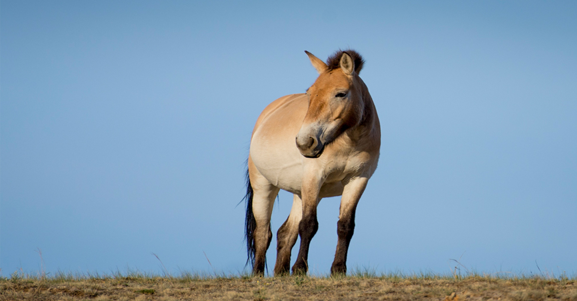 Saving Przewalski's Horse - Conjour Wildlife Photography Feature - 0