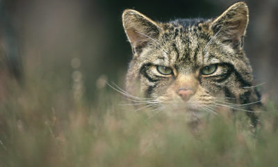 Scottish Wildcat Peter Cairns Conjour Conservation Report III
