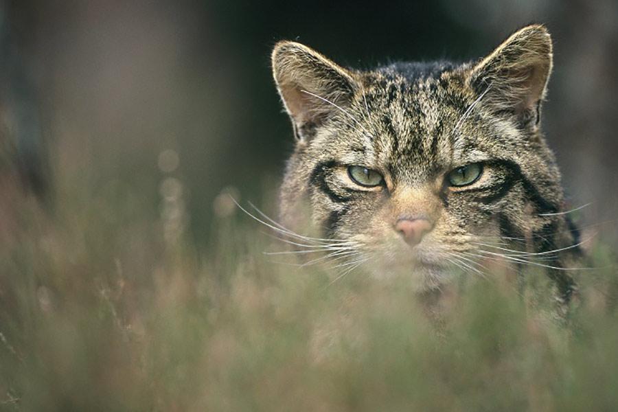 Scottish Wildcat Peter Cairns Conjour Conservation Report III