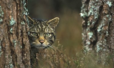 Scottish Wildcat - Peter Cairns - Conjour Conservation Report IV