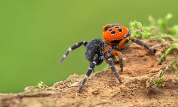 Spiders climate change - ladybird spider - Conjour world