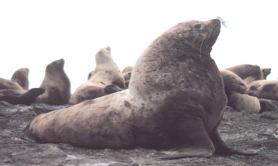Steller Sea Lion - Conjour Conservation Report - Feature