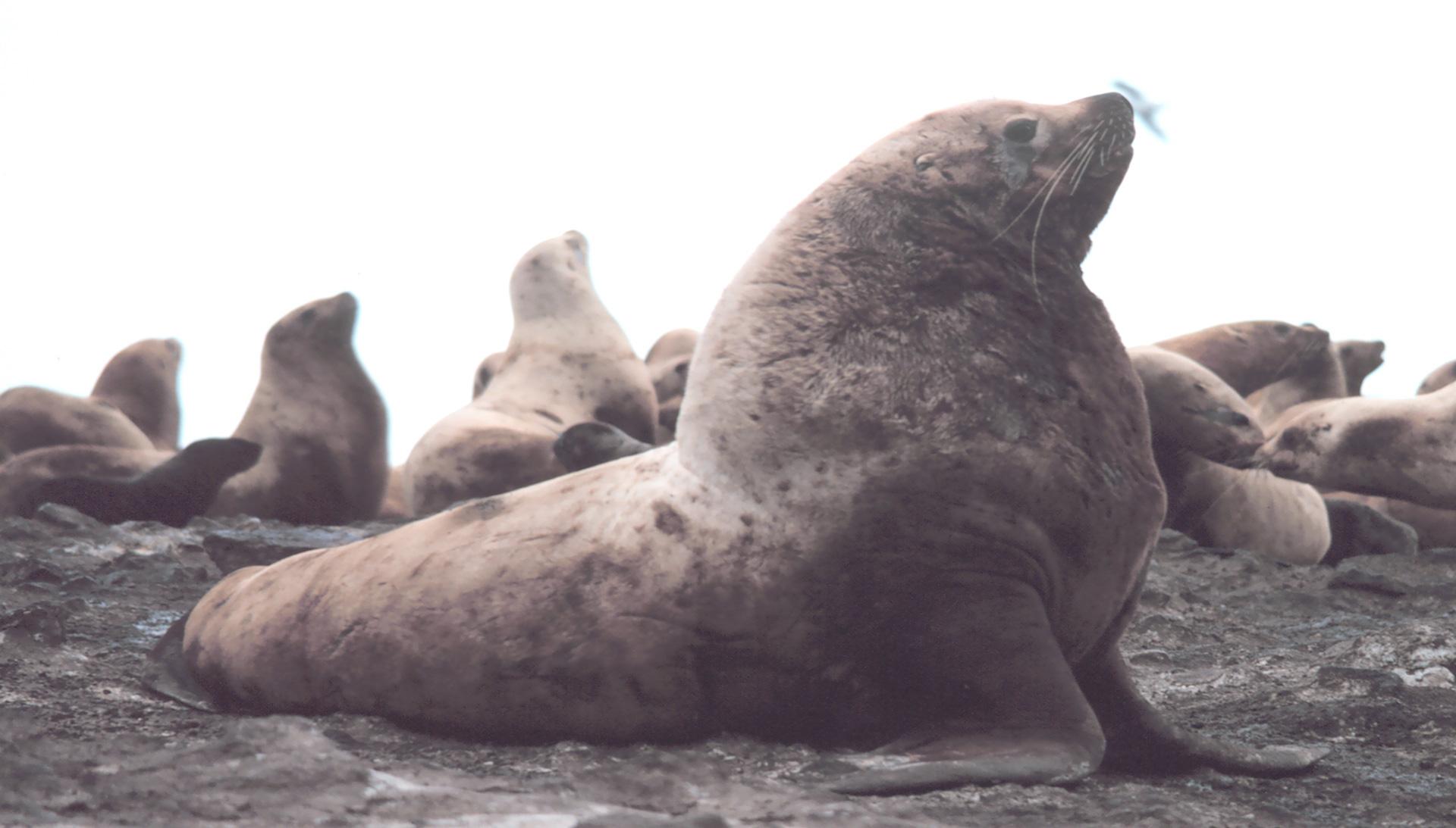 Steller Sea Lion - Conjour Conservation Report - Feature