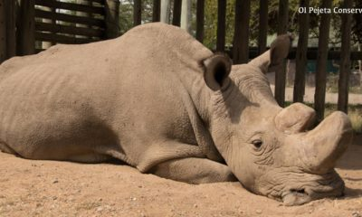 Sudan the last male northern white rhino is dead - Conjour Editorial - Rhinoceros - Conservation - Ol Pejeta Conservancy - Feature