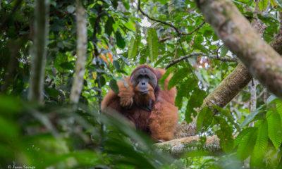 Sumatra - A Fragile Ecosystem - Part I - Jason Savage - Conjour Wildlife Photography Feature - Feature Image - Orangutan - 1