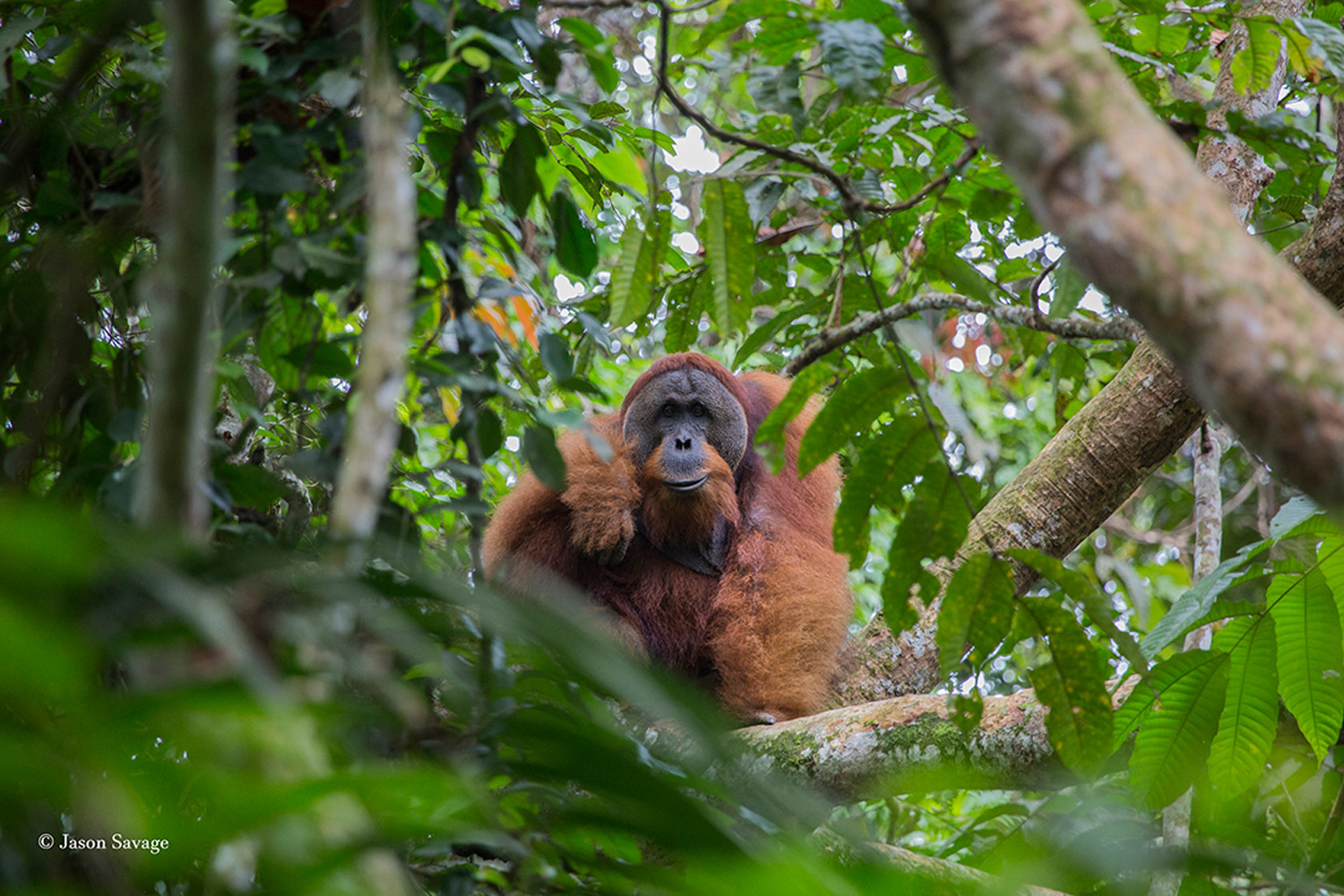 Sumatra - A Fragile Ecosystem - Part I - Jason Savage - Conjour Wildlife Photography Feature - Feature Image - Orangutan - 1