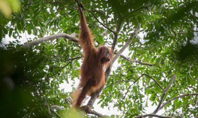 Sumatra - A Fragile Ecosystem - Part II - Conjour Wildlife Photography Feature - Jason Savage - Indonesia - Feature
