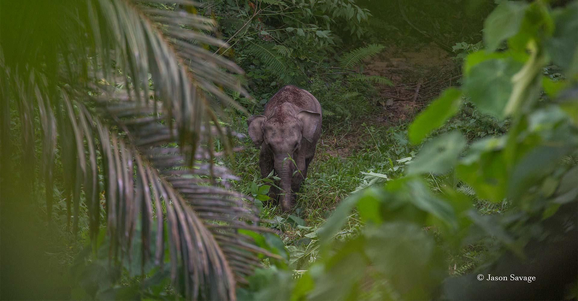 Sumatran elephant - Conjour - 0