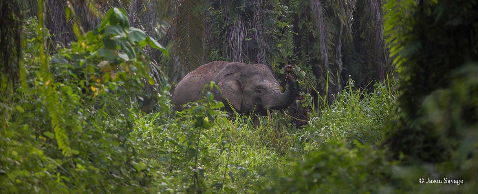 Sumatran-elephant-Conjour-1