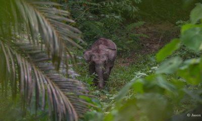 Sumatran-elephant-Conjour-2