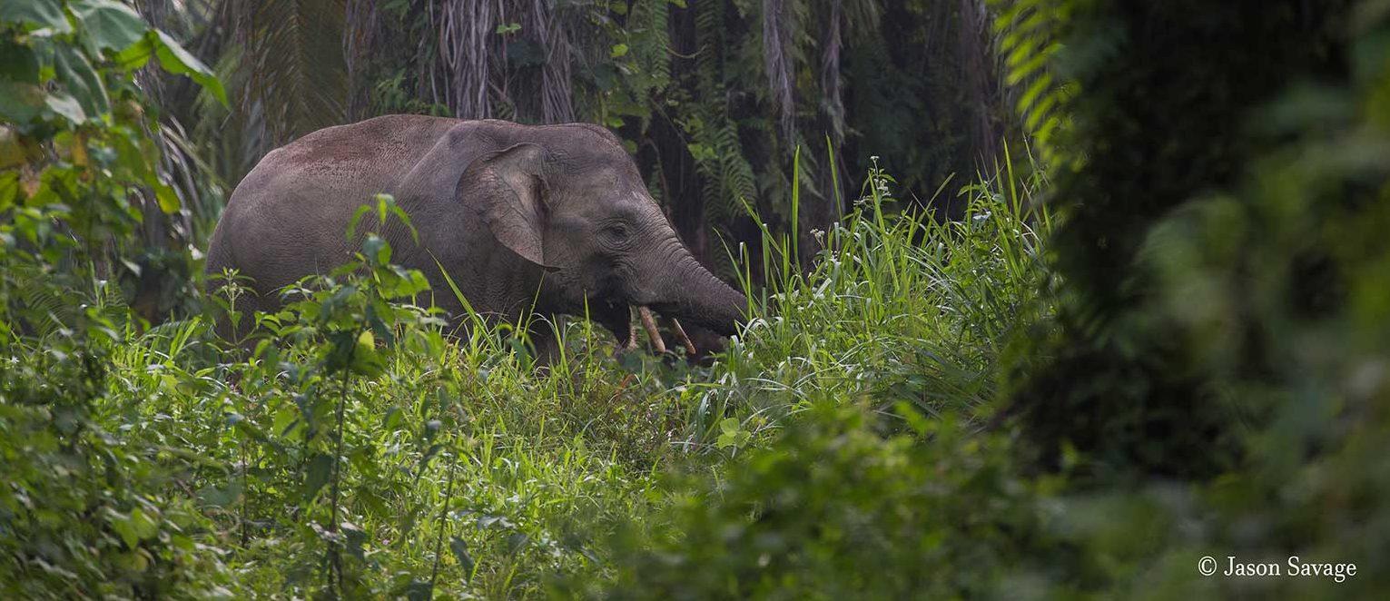 Sumatran-elephant-Conjour-3
