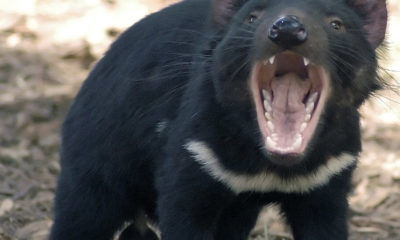 Tasmanian Devil - Large - Conjour Conservation Report