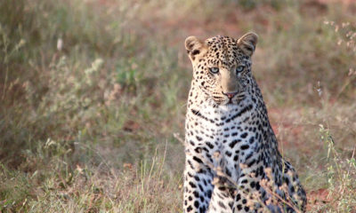 Leopard Photography - the leopard named bwana - alice-peretie-2012-conjour-wildlife-photography-v