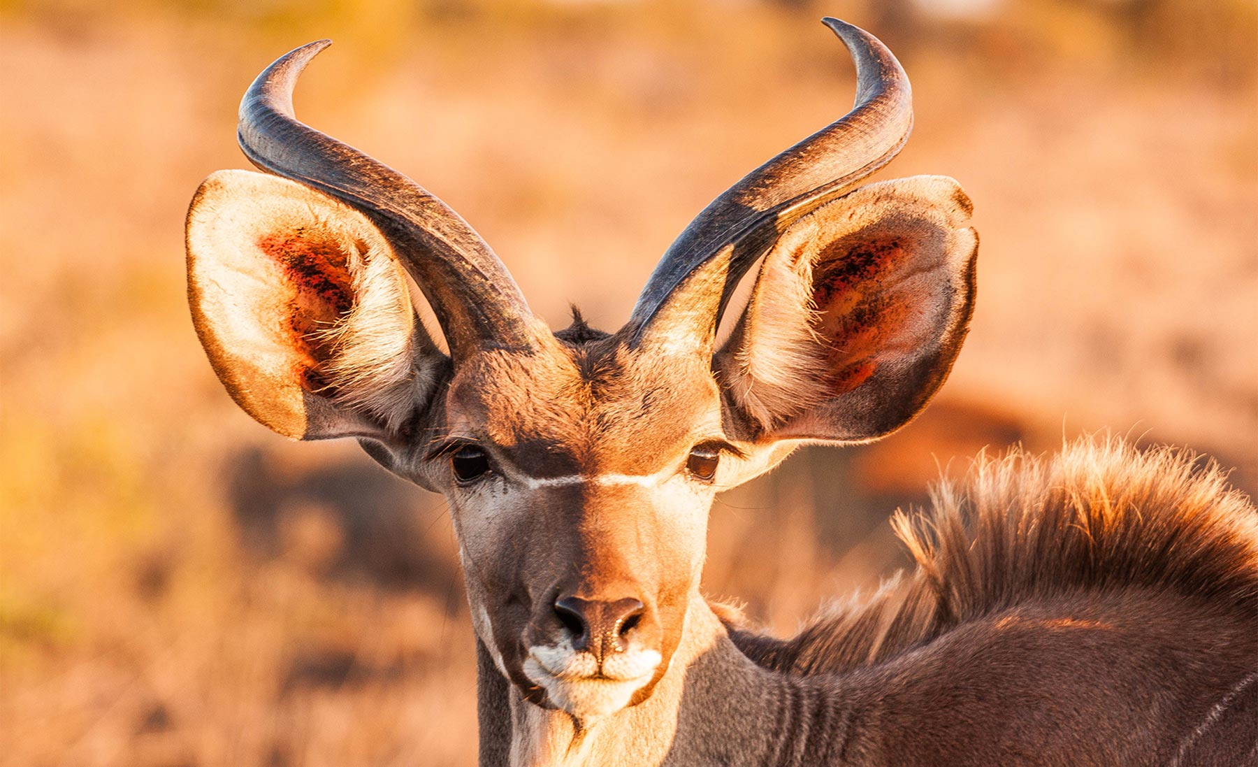 The Power of Nature - Jessica Murray - Conjour Wildlife Photography Feature - Lesser Kudu Feature