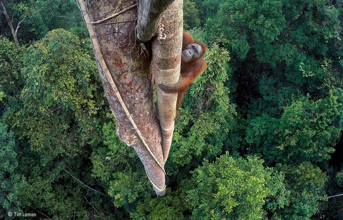 Tim Laman - Wildlife Photographer of the Year - Grand Title winner - Conjour Editorial-min