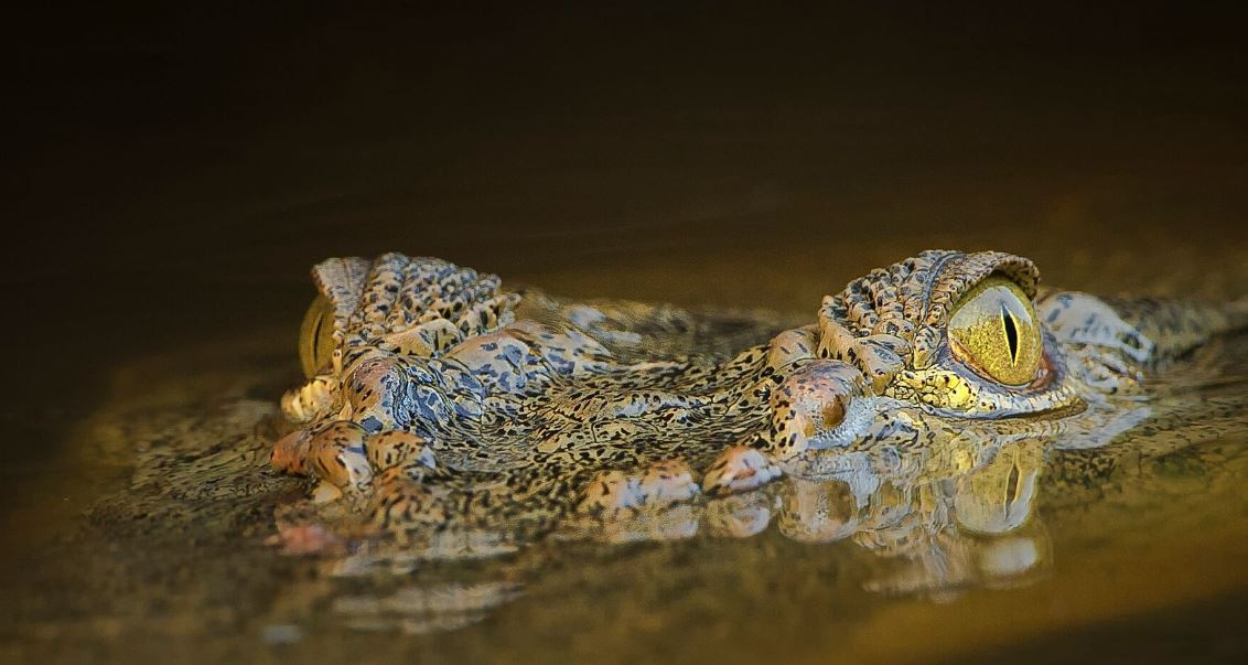 visual celebration Borneo's wildlife Conjour wildlife photography crocodile