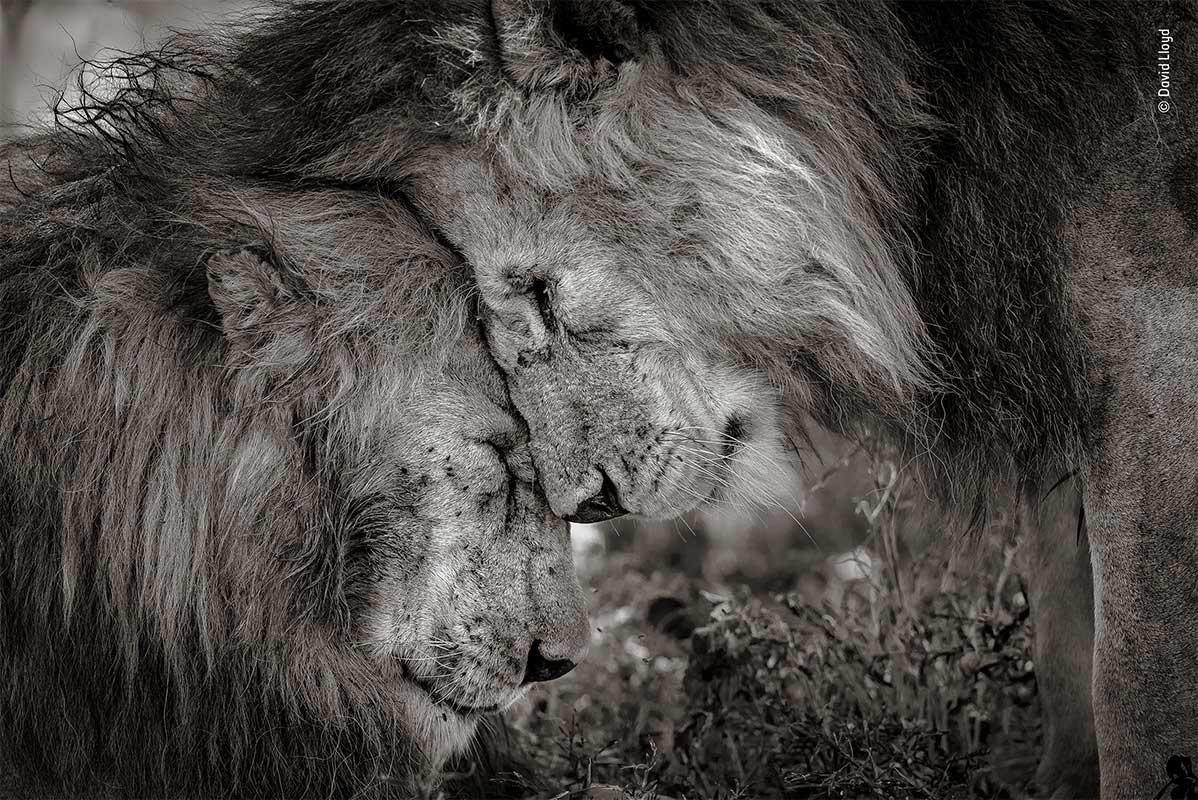 WPY19 - Conjour - Male Lions - David Lloyd