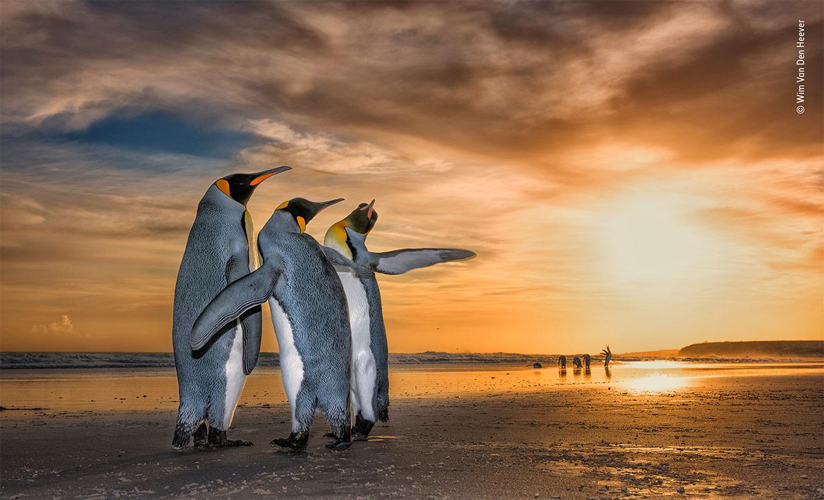 WPY19 - Conjour - King Penguins - Wim Van Den Heever