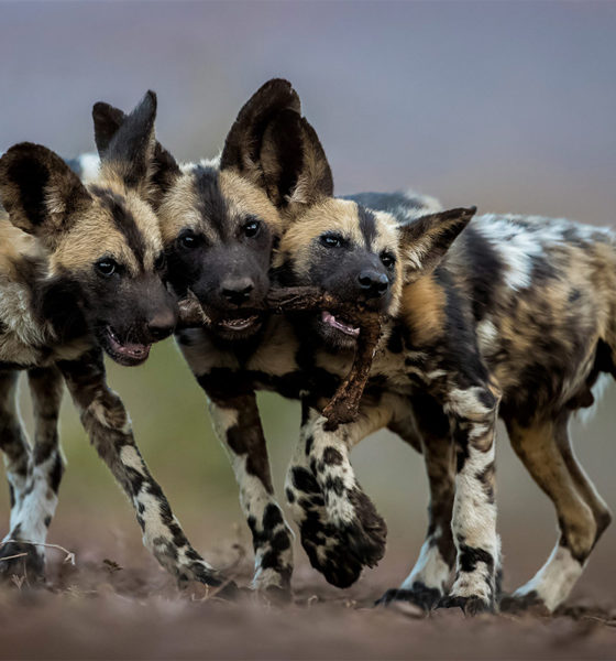 WPY19 - Conjour - Wild Dogs - Bence Mate