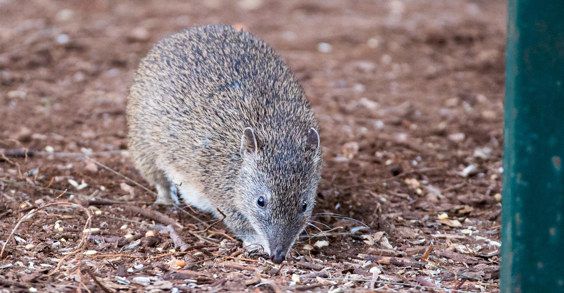 Warrawong Sanctuary to Reopen - Bandicoot - Conjour Editorial - 1