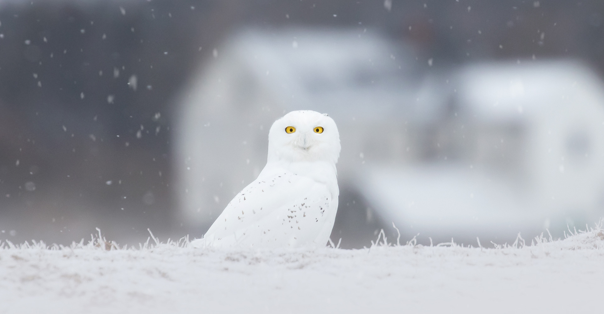 White Ghost of the North - Brittany Crossman Photography - Snowy Owl - Conjour Wildlife Photography Feature - Conservation Journal - Feature