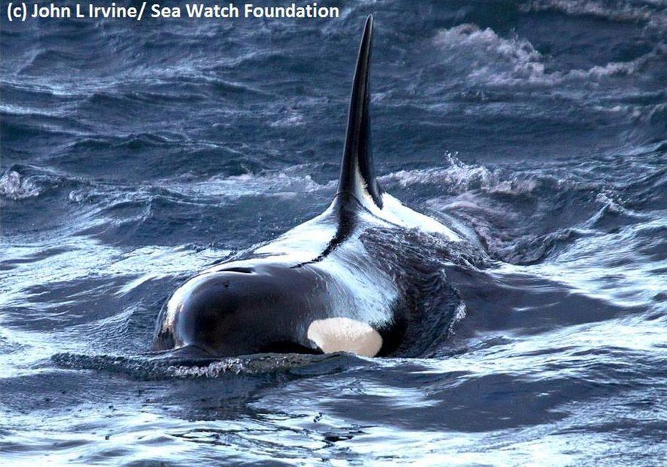 Orca - Conjour