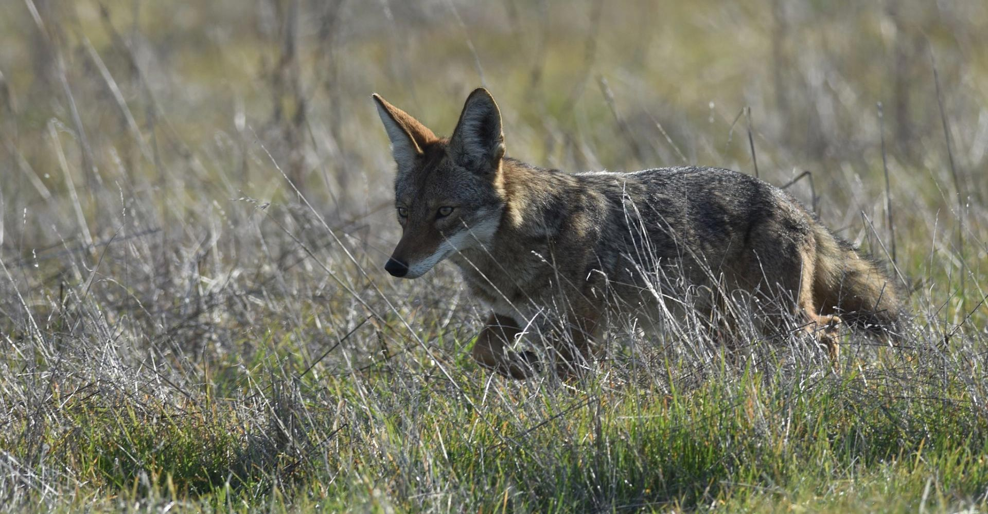 Wildlife Cuts Through The Noise - Jenni Peters Photography - Conjour Wildlife Photography Feature - Coyote - Feature