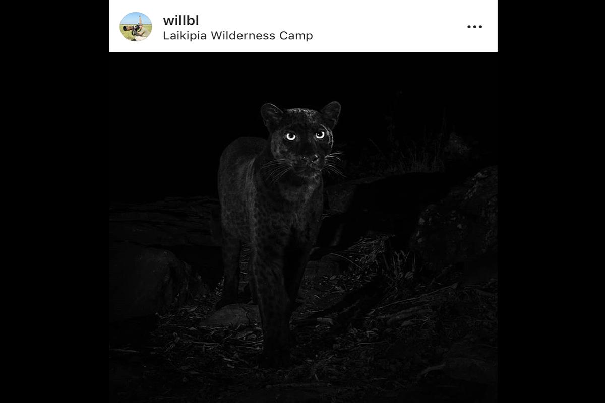 Melanistic Leopard - Will Burrard-Lucas - Conjour Wildlife Photography