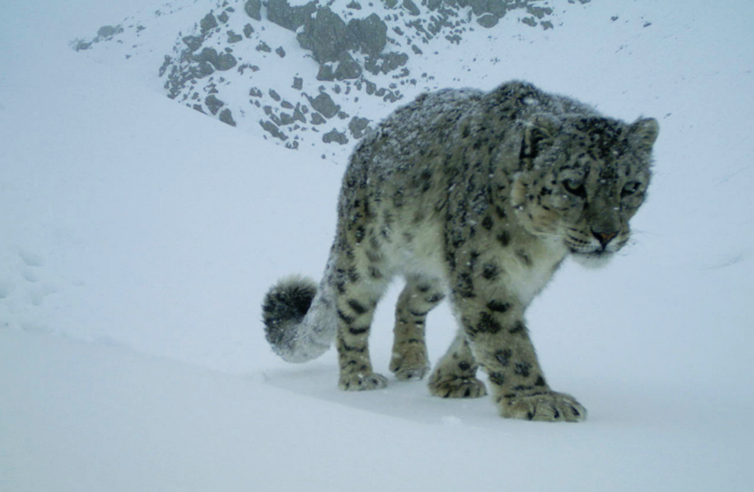 World Environment Day 2017 - Conjour Editorial - Snow Leopard Trust - Feature