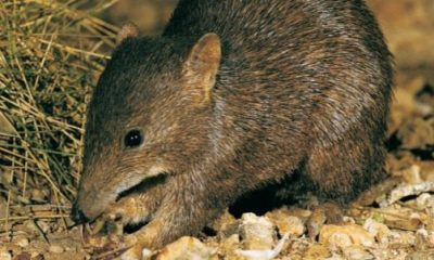 Golden Bandicoot - Conservation Journal