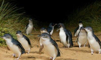 penguin race - sport commentary - australia - phillip island